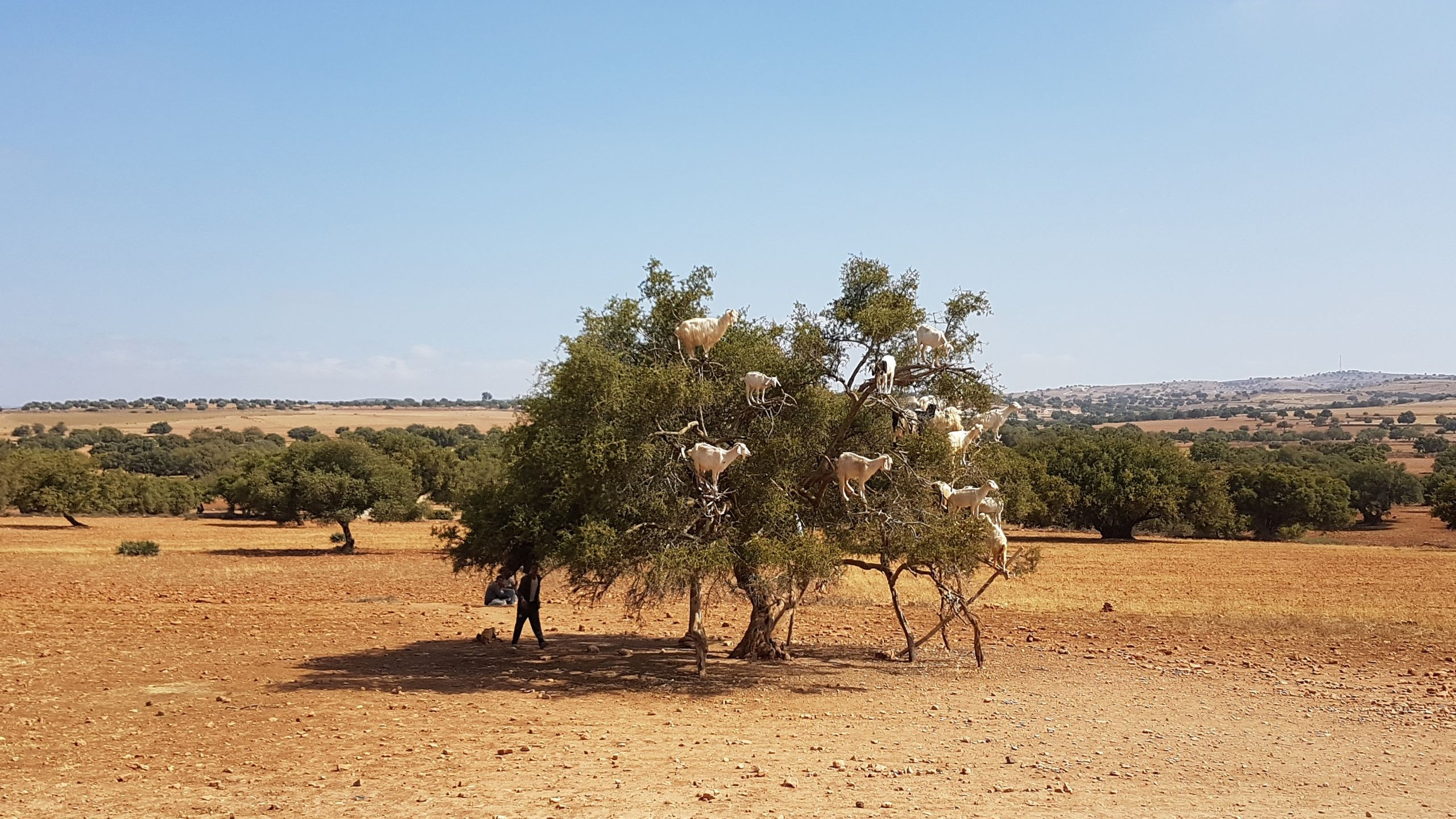 What appear to be odd-shaped fruits in an argan tree are actually goats.