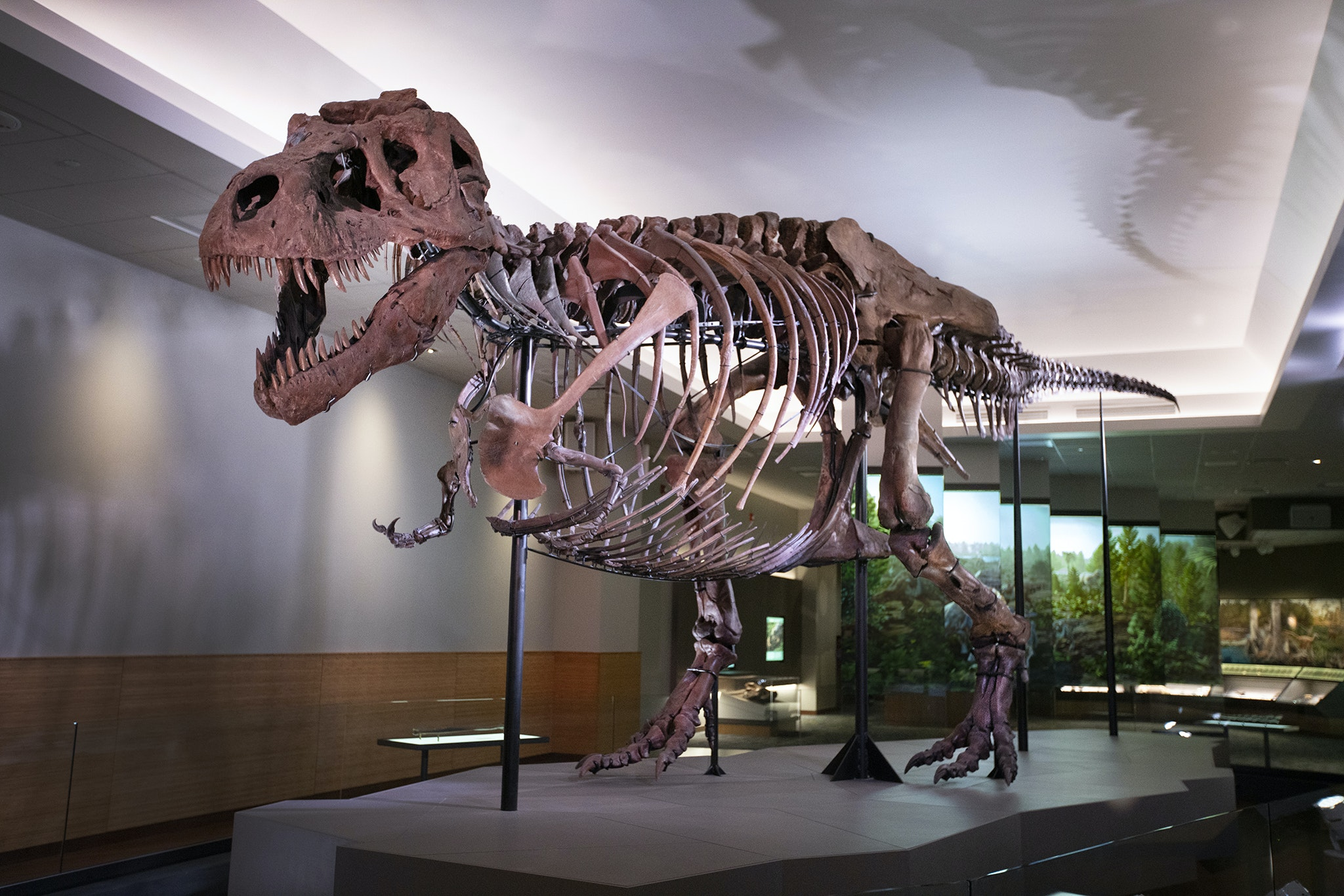 See the world's biggest and most complete Tyrannosaurus rex skeleton on display at Chicago's Field Museum.