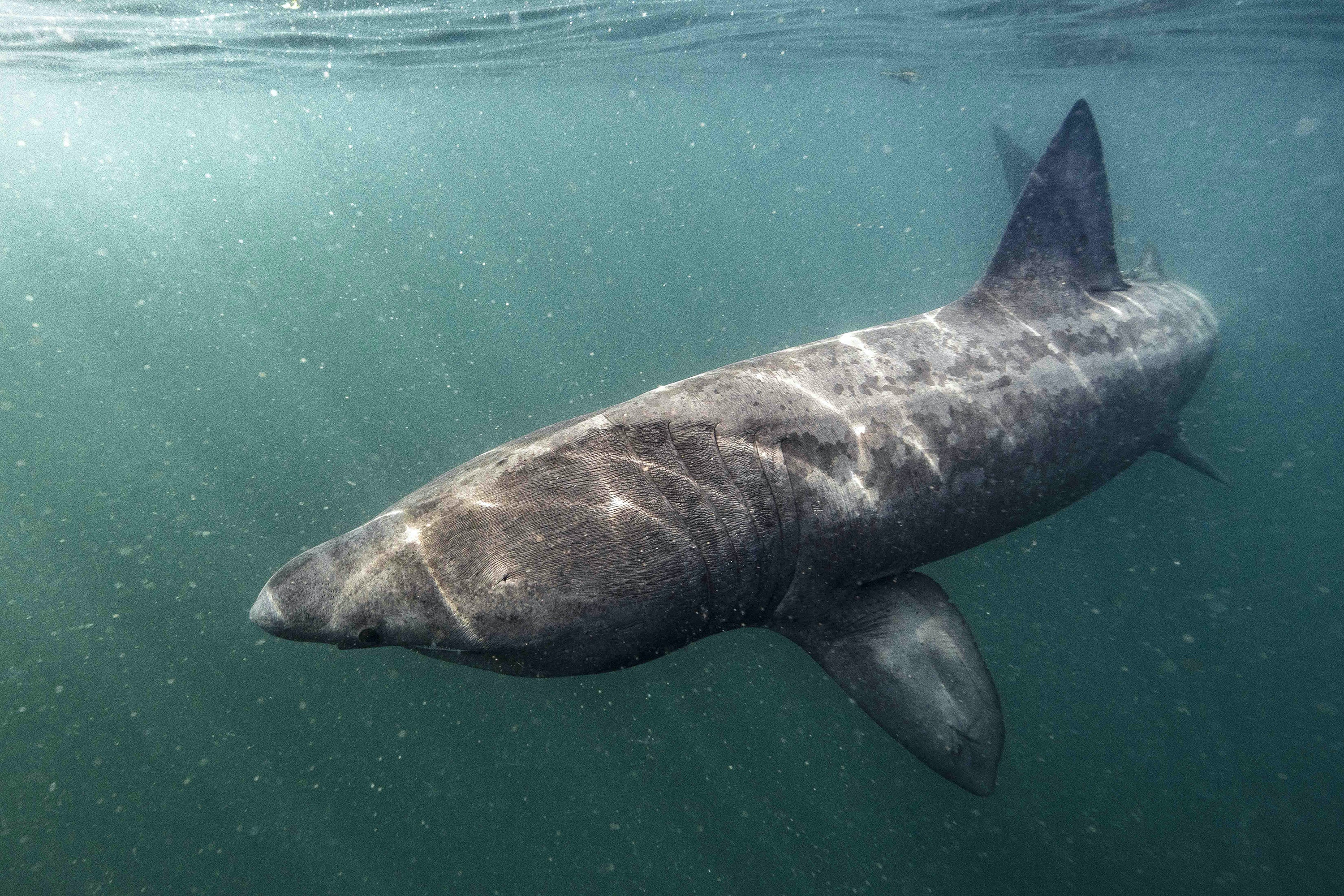 Basking sharks glide just below the sea surface to feed.