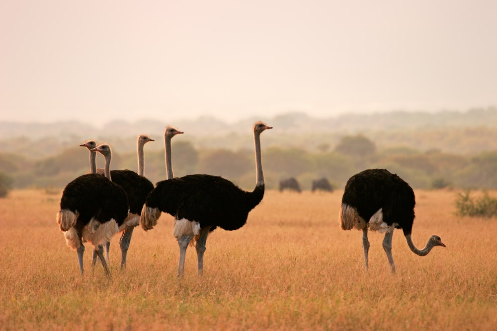 Ostriches roam Marakele National Park in South Africa.