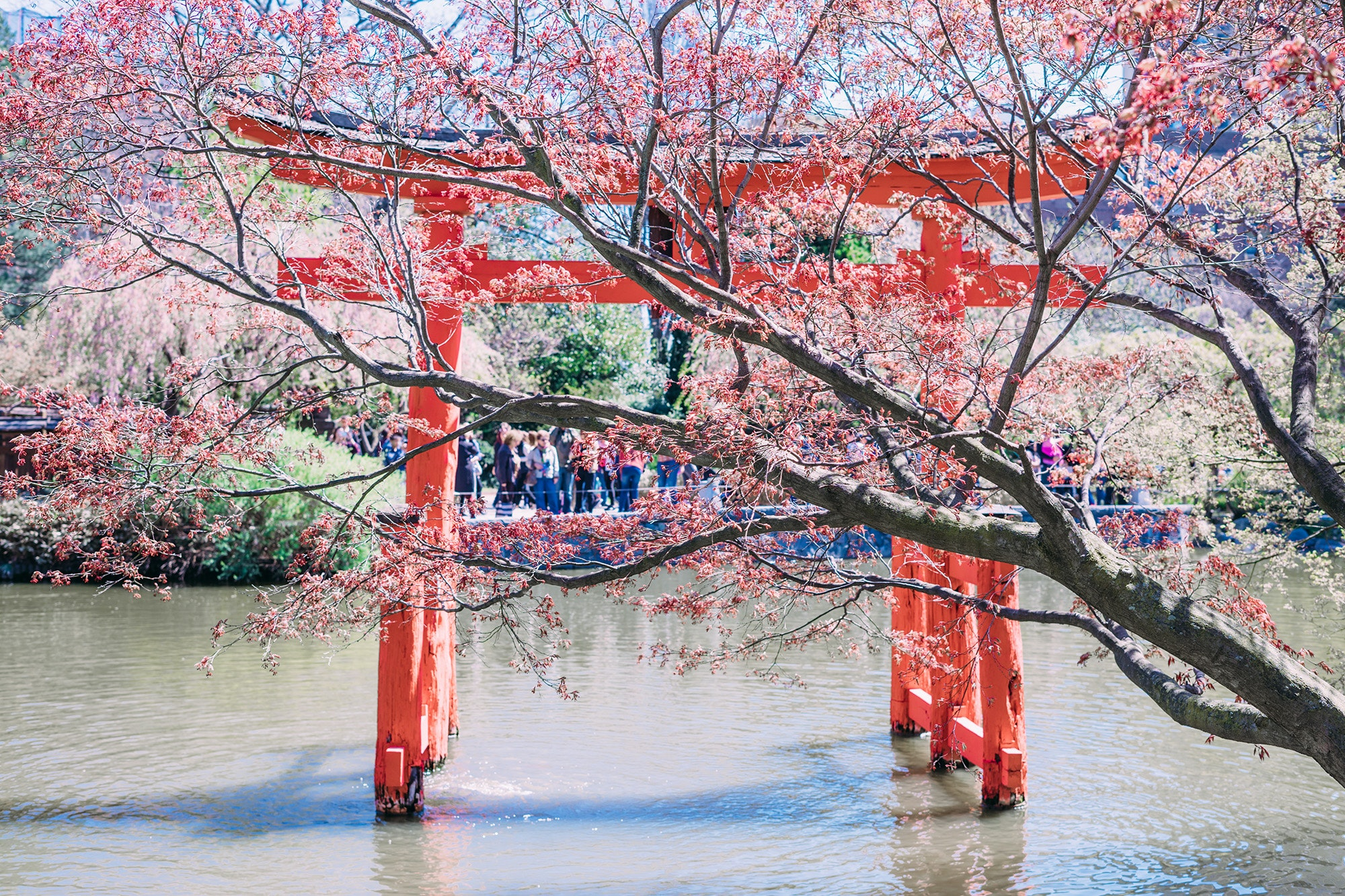 Some of the oldest cherry trees are located around the Japanese Hill-and-Pond Garden at the Brooklyn Botanic Garden.