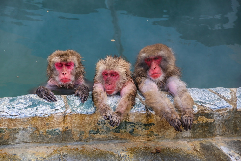 Humans aren't the only ones who love relaxing in hot springs; these Japanese macaques zen out in Hakodate, Hokkaido.