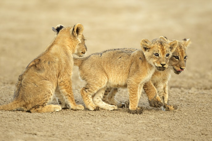 The Humane Society International encourages travelers to research animal encounters, such as lion cub experiences in South Africa, before engaging with them.