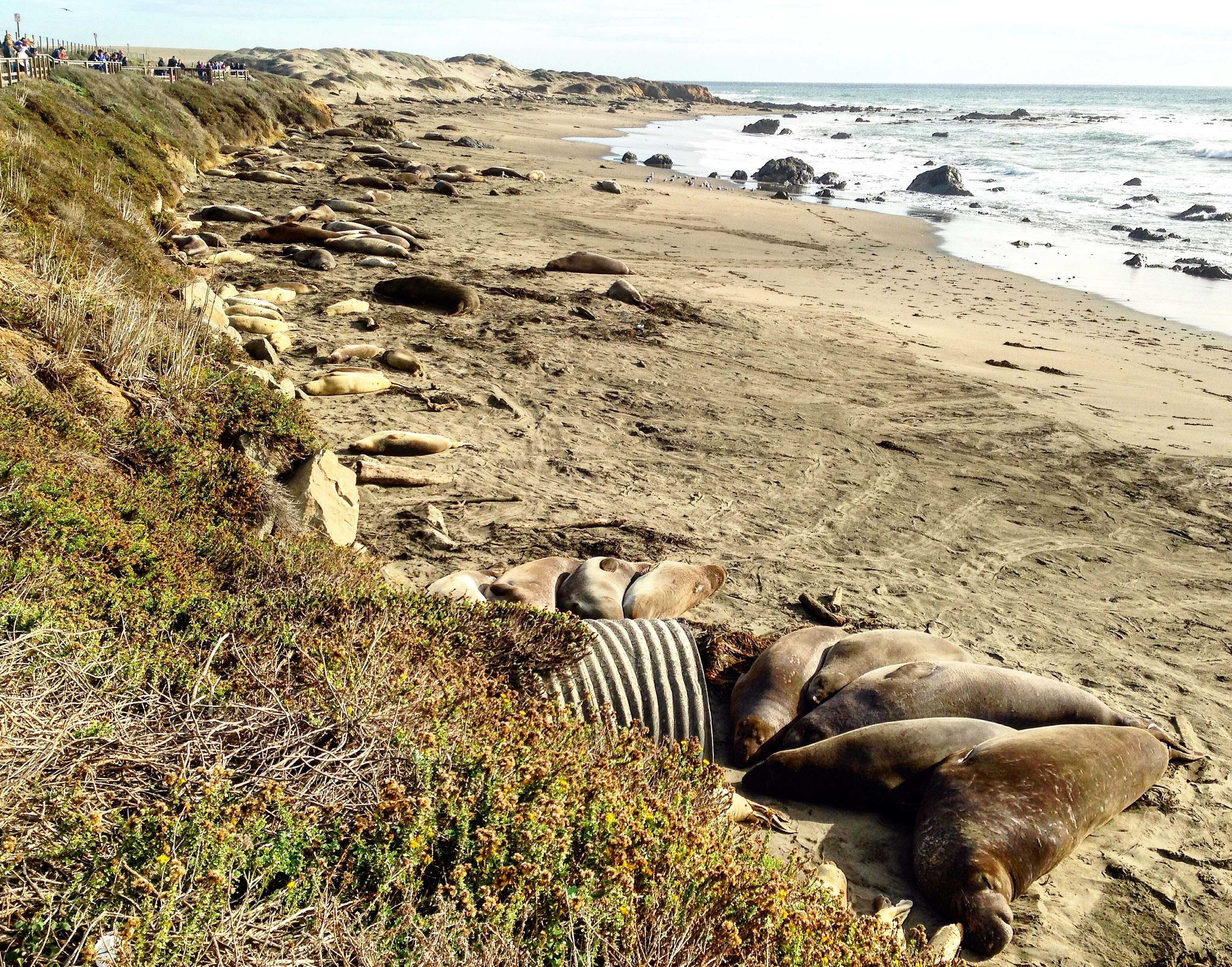 Elephant seals know how to chill.