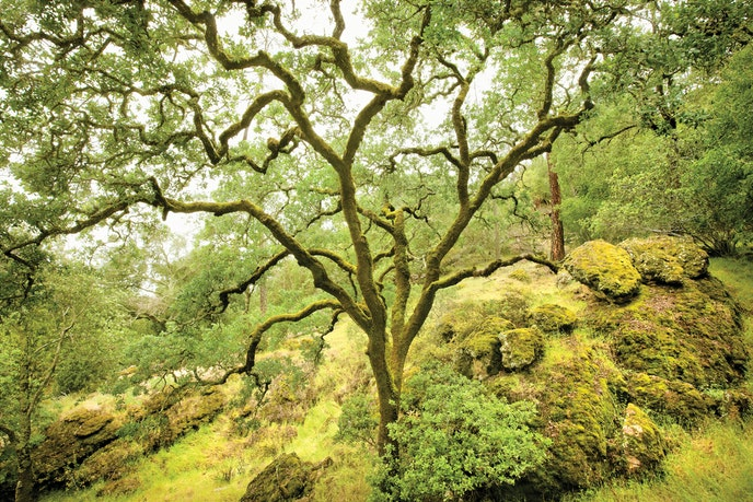 Calistoga Ranch sits on 157 acres covered with centenarian oak trees, redwoods, and hiking paths.