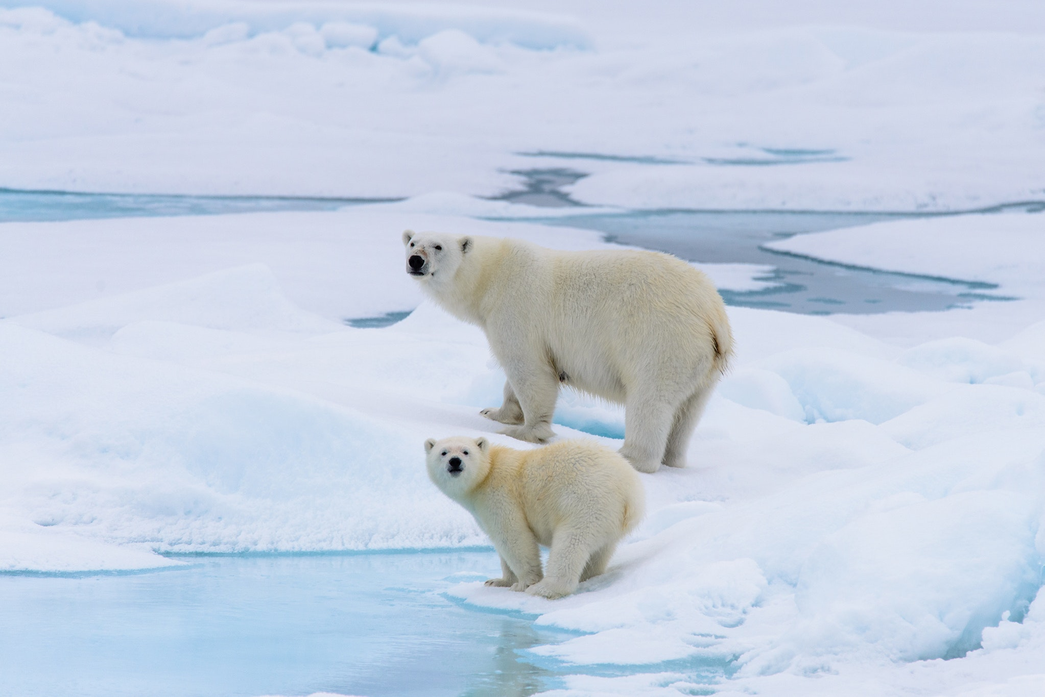Book a trip to the Arctic for a chance to see polar bears.