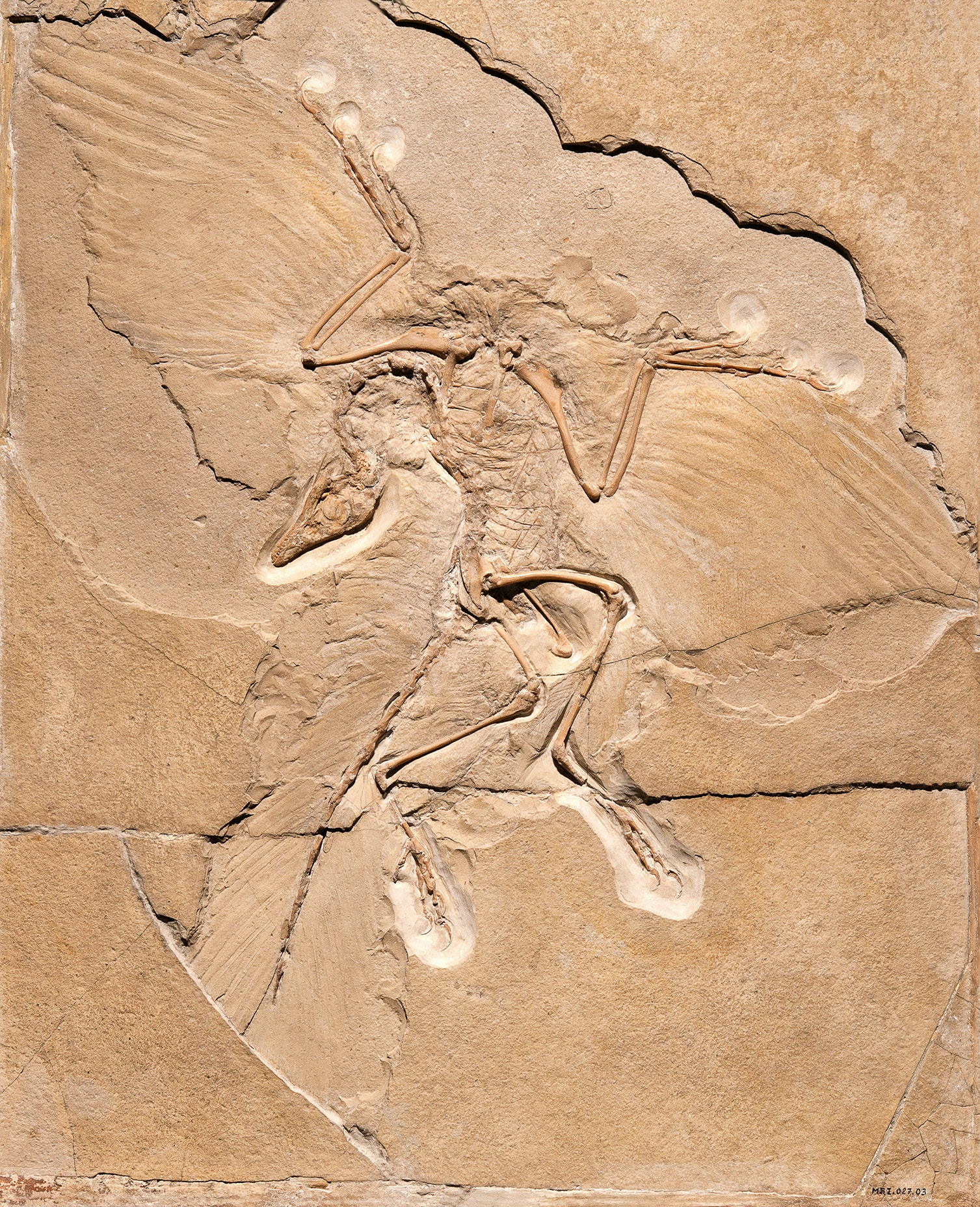 At the Museum für Naturkunde in Berlin, contemplate the connection between modern birds and ancient dinosaurs while studying a fossilized limestone impression of the Archaeopteryx.