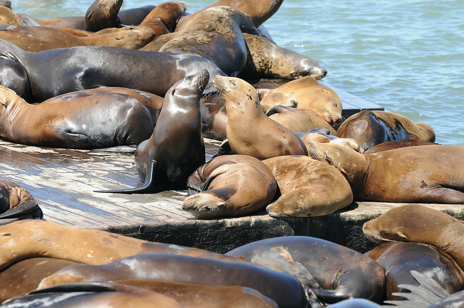 They may be noisy and a little smelly, but sea lions are easy to love.