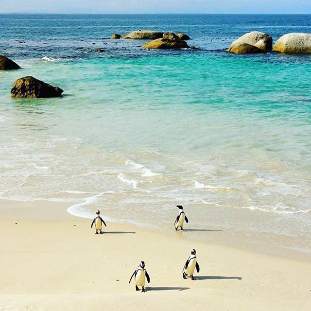 Welcome to South Africa's Boulder Beach, where millions of these adorable penguins roam free.