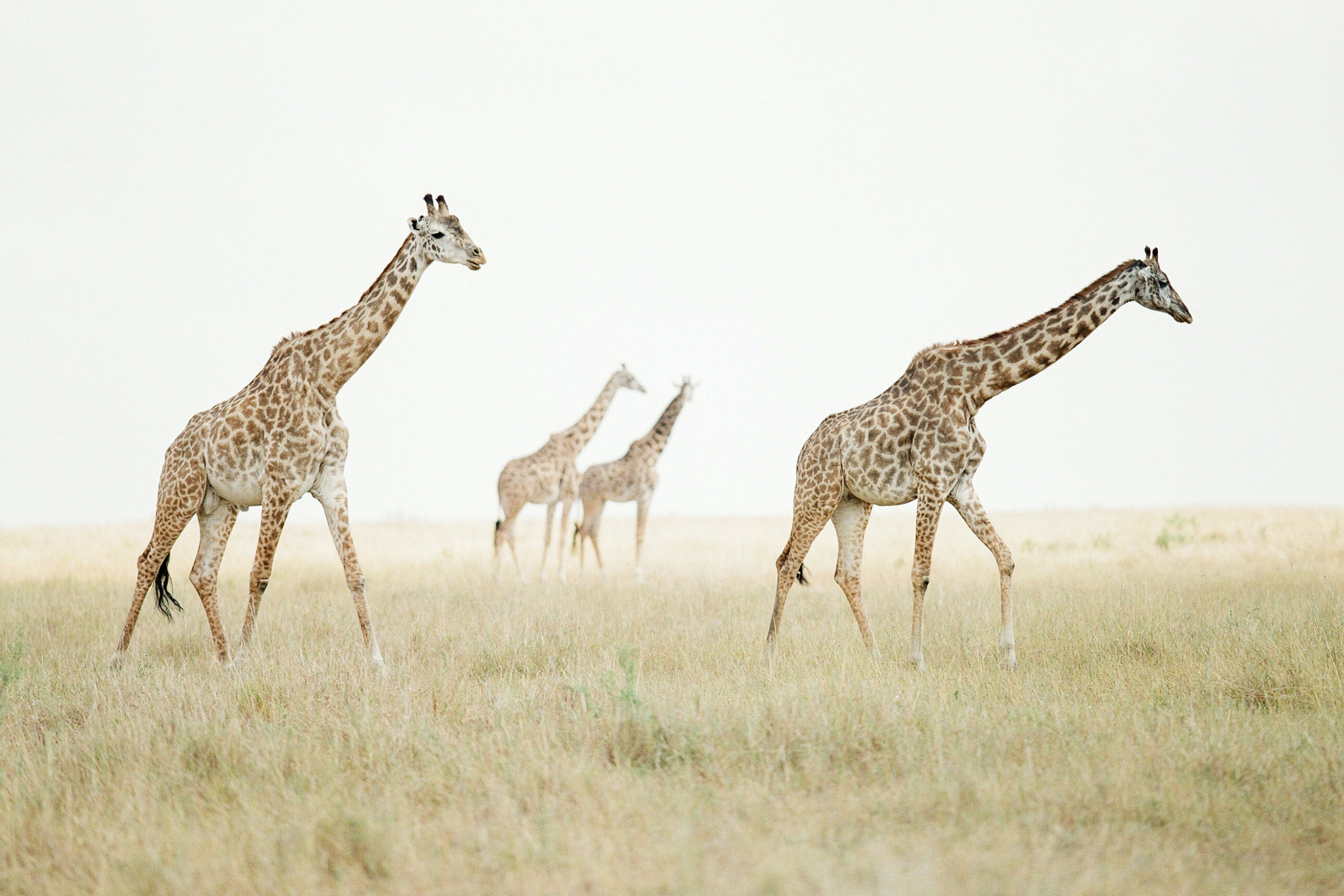 The central Serengeti is home to giraffes, cheetahs, lions, and wildebeests.