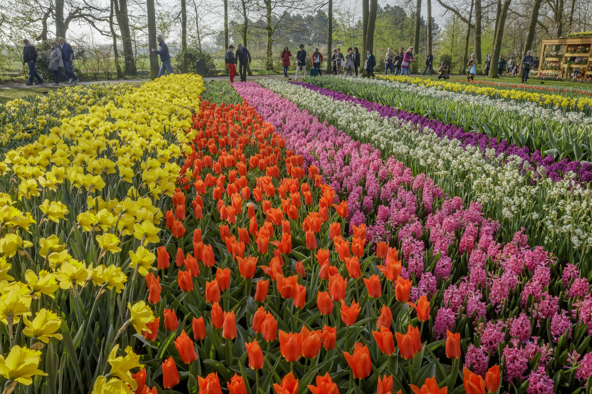 Keukenhof Gardens consists of more than 79 acres filled with800 varieties of tulips.