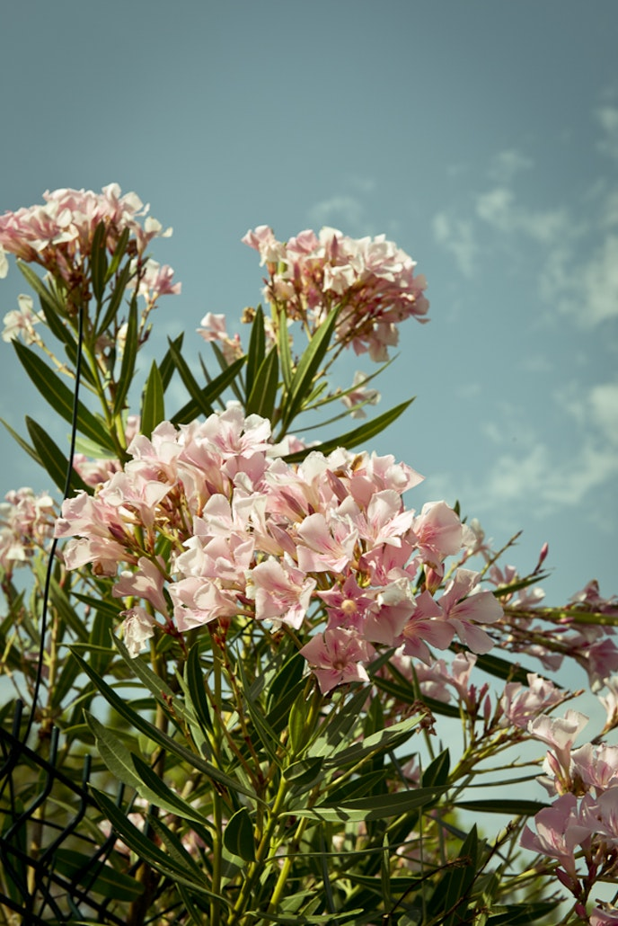 Jasmine, a key ingredient of many perfumes, was brought to southern France by the Moors in the 16th century.