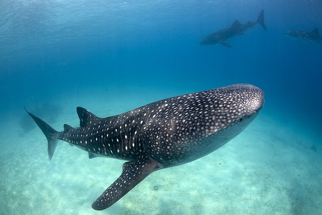 There's an abundance of whale sharks in Ningaloo.