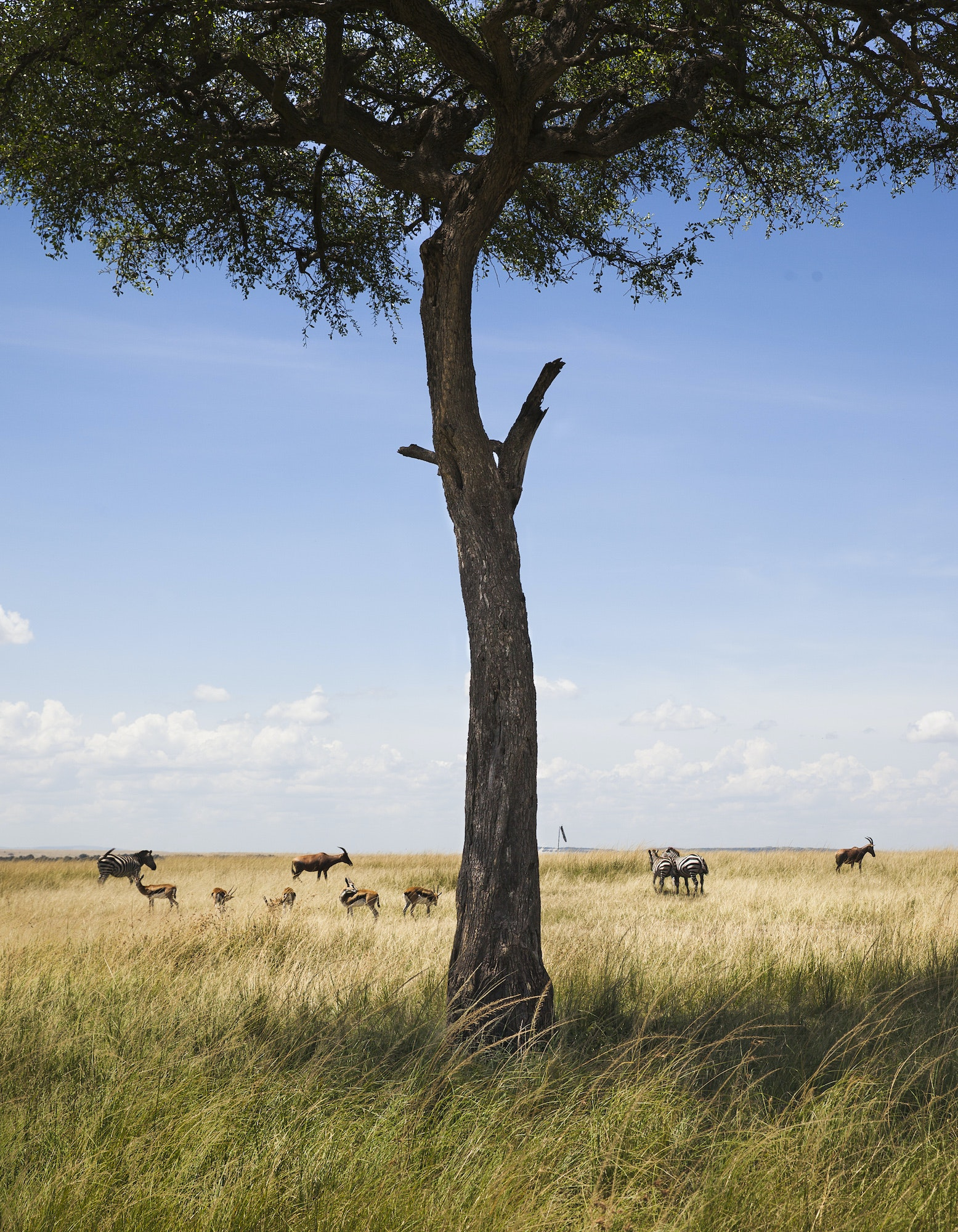 Balanites trees shade zebras, topis, and the Big Five: lions, elephants, buffaloes, leopards, and rhinoceroses.