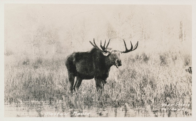 Moose on the loose in the 1930s.