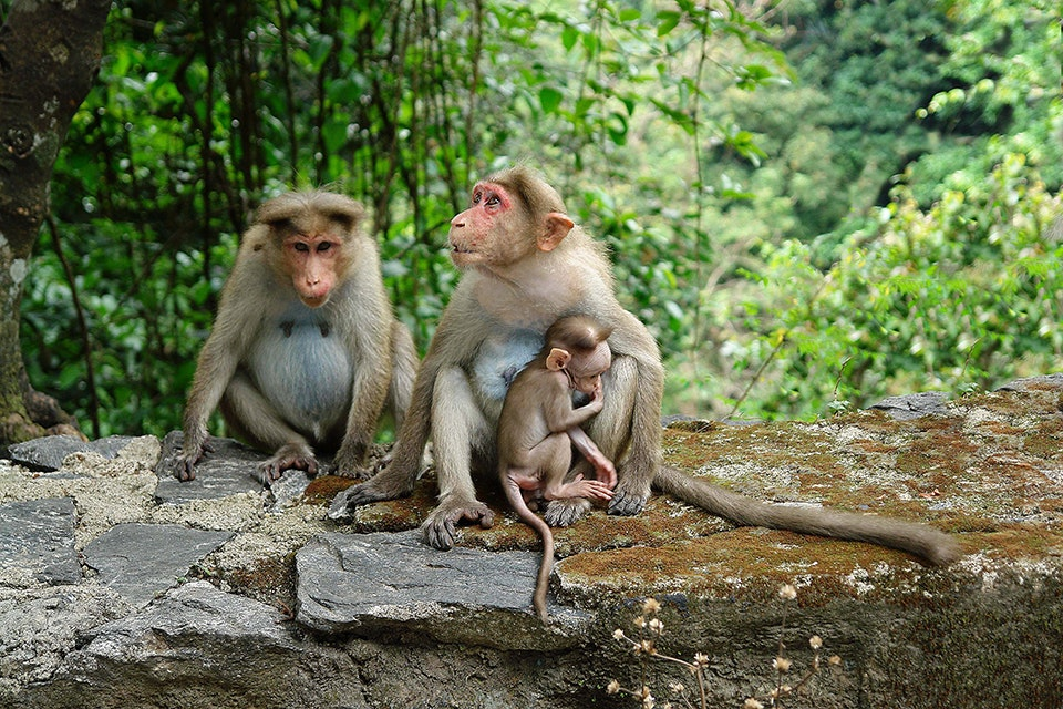 Old World monkey species like the rhesus macaque live in Kerala.