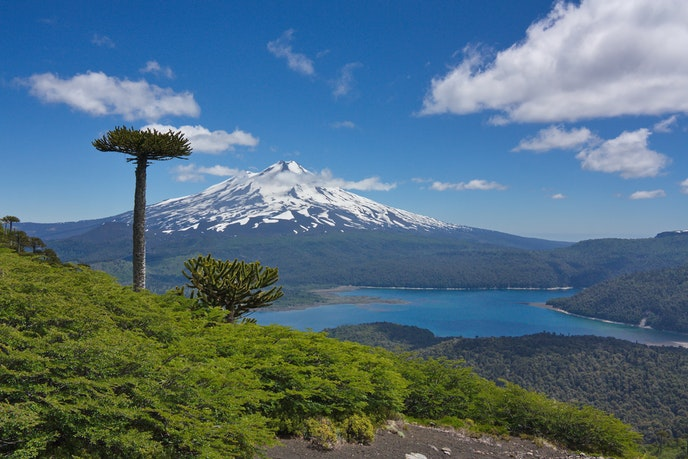 """Chile's national Araucaria pine, otherwise known as """"monkey-puzzle tree,"""" in Conguillío National Park"""