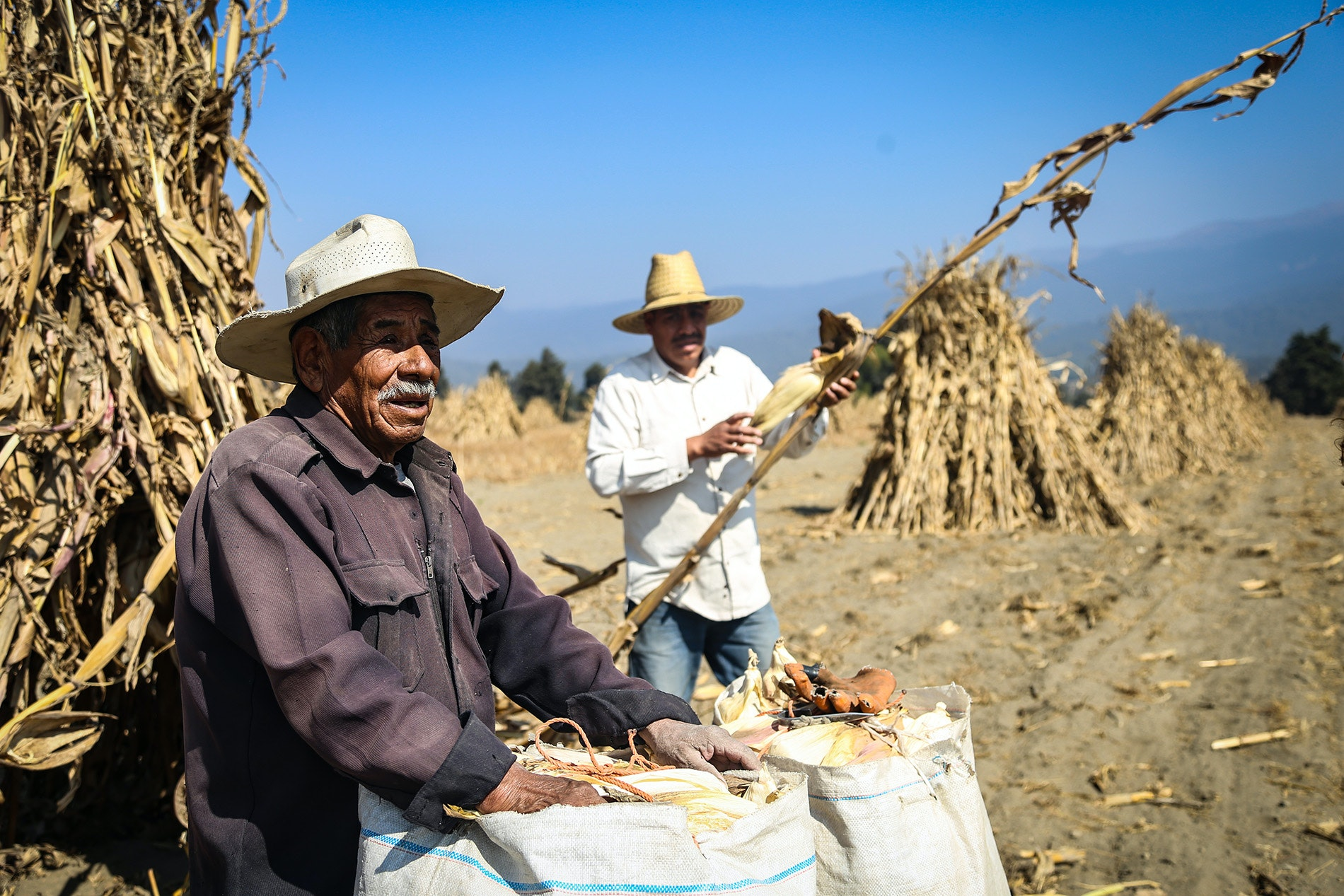 Thirteen million tons of heirloom corn are grown annually in Mexico.