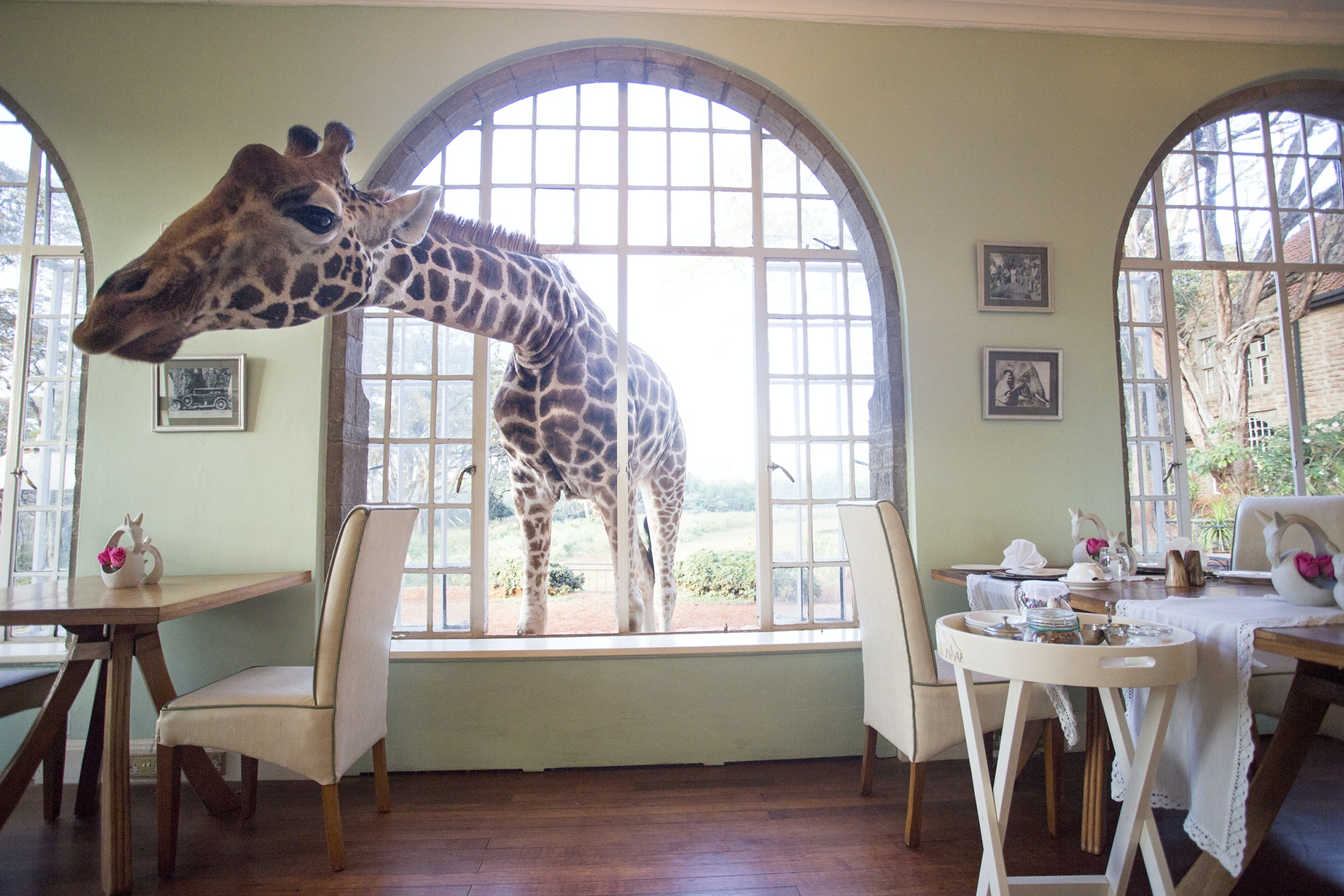 In the suburbs of Nairobi, the giraffes at Giraffe Manor often make appearances at breakfast time.