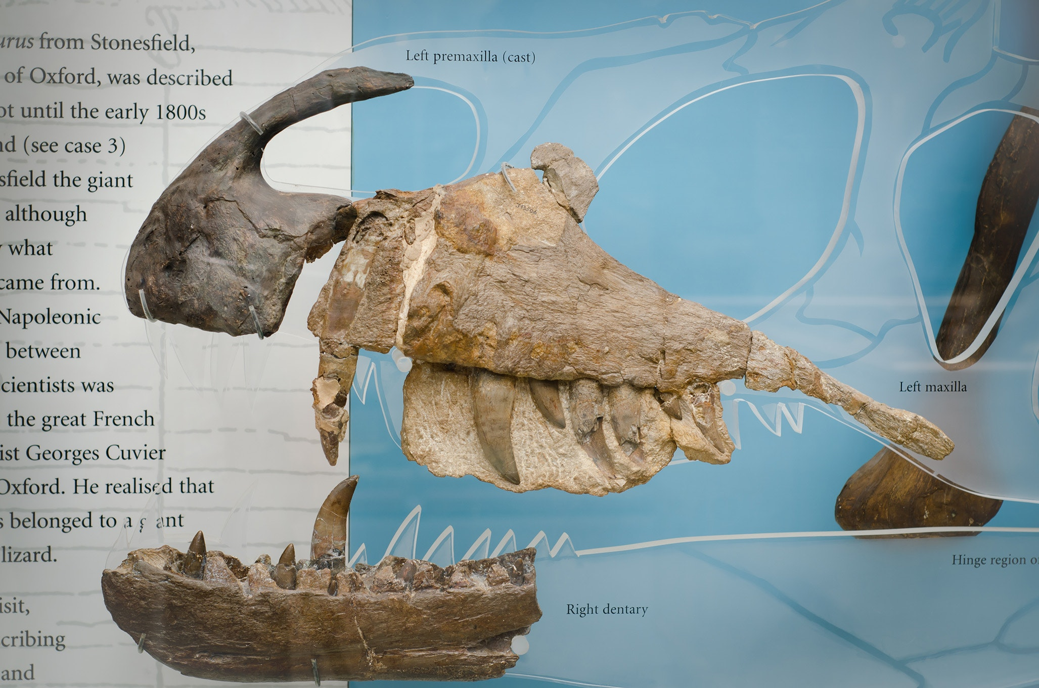 The jawbone of the Megalosaurus was the first dinosaur fossil to be recognized by science; it's on view at the Oxford University Museum of Natural History.