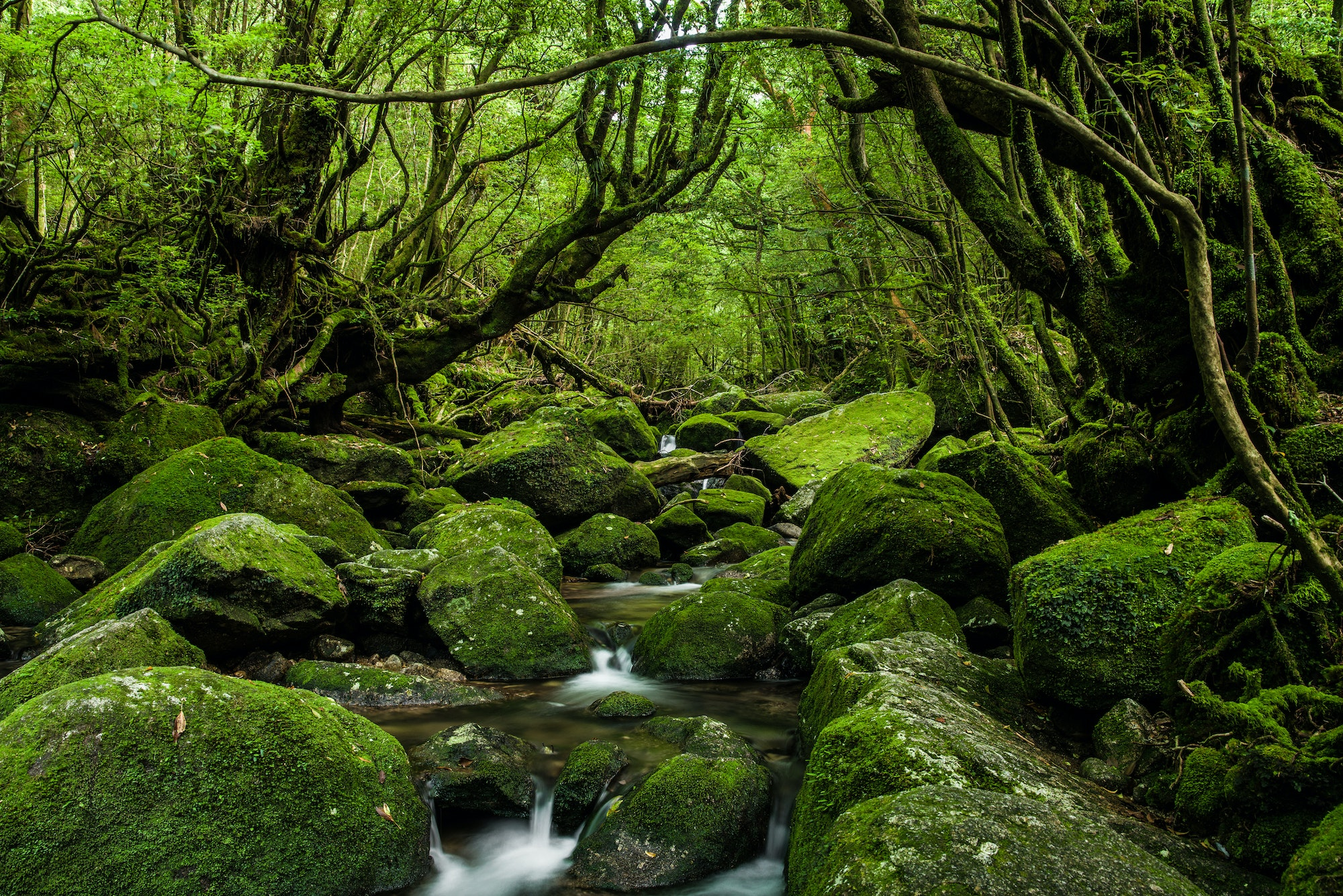 The enchanted forests of Yakushima, Japan