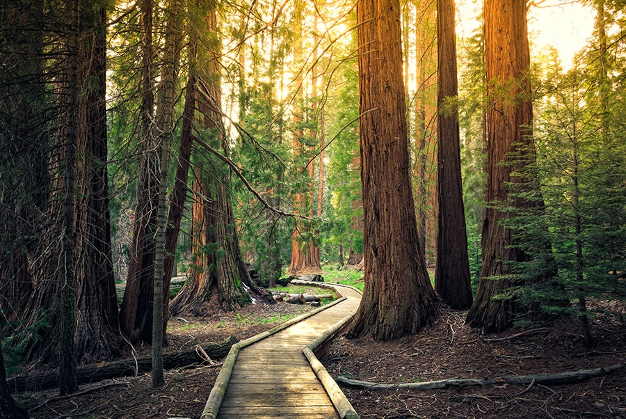 Sequoias are the third longest-lived species of tree, with some in California more than 3,000 years old.
