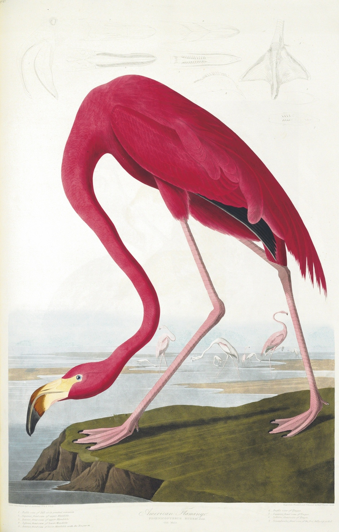 """Birds of America"" Plate 431, American Flamingo"