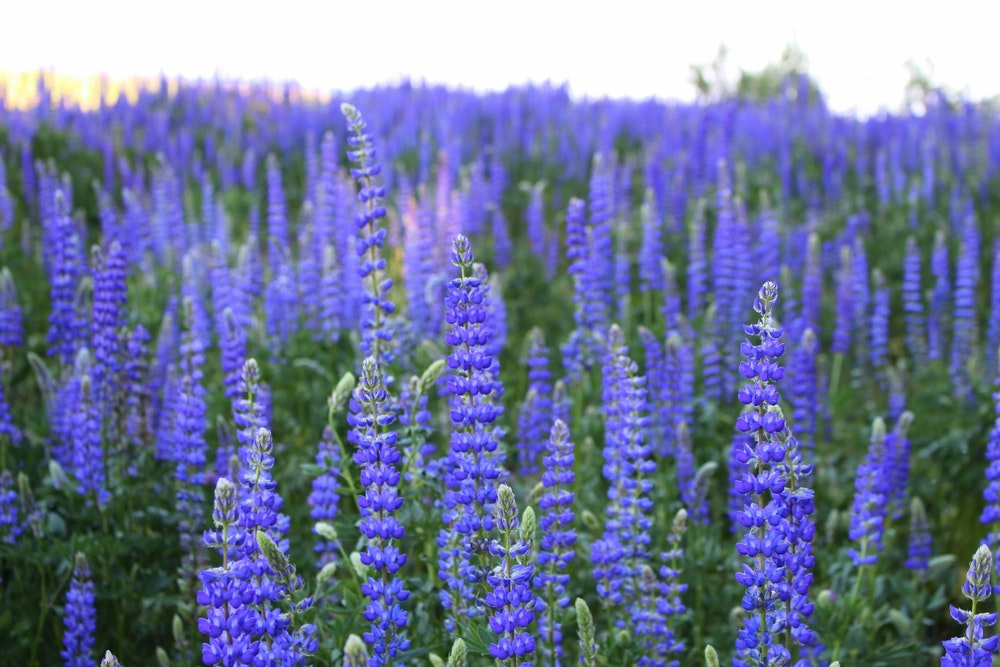 Wild blue lupine blooms around Lake Tahoe in the late spring.