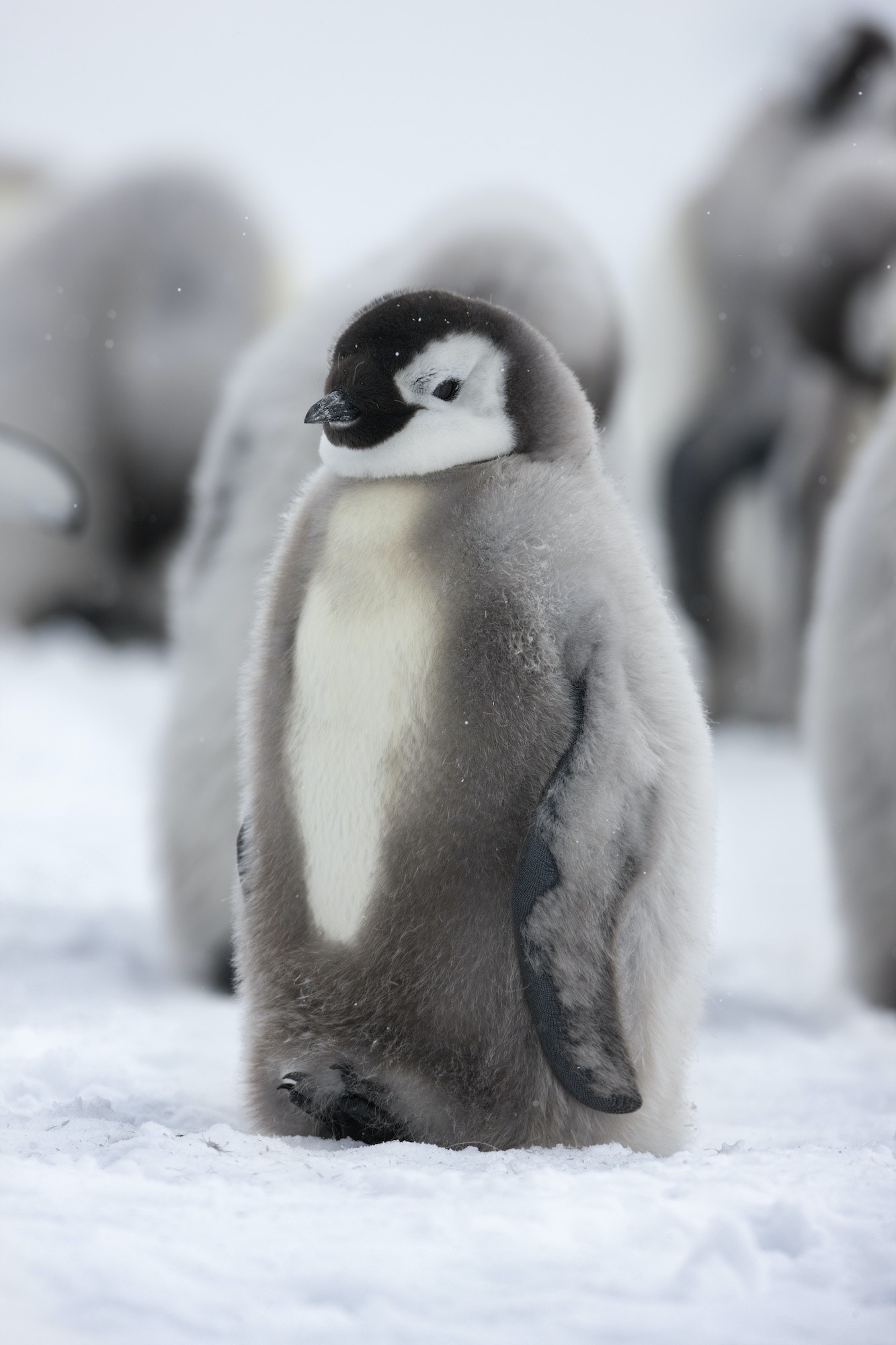 Scientists are concerned that as climate change progresses, emperor penguins may not find enough food to build up the body fat to stay warm.