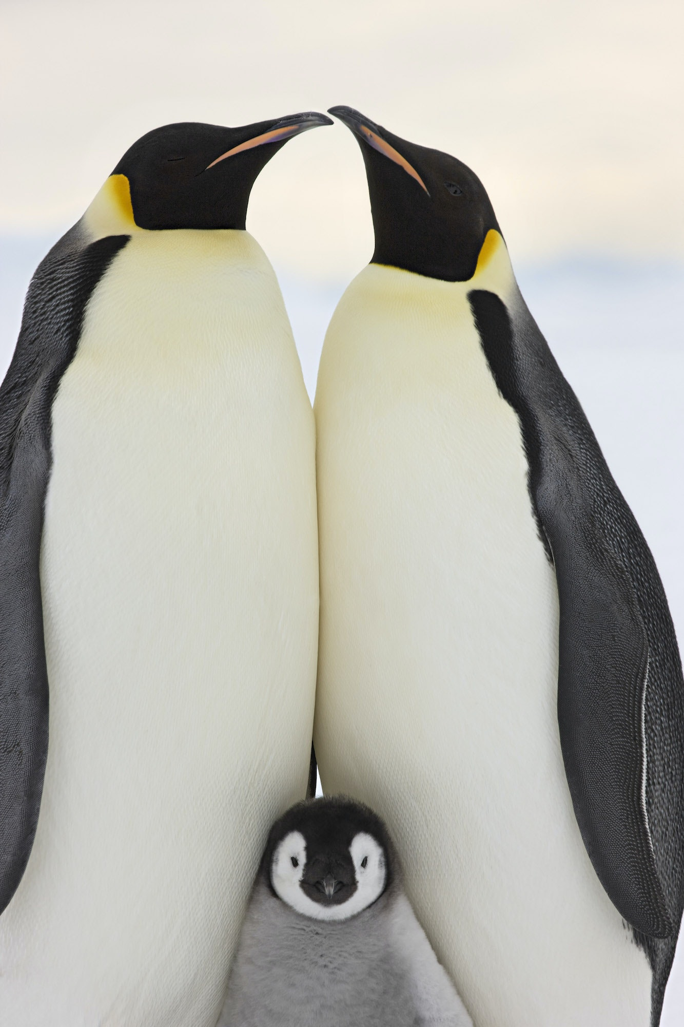 Emperor penguins huddle in groups to keep themselves—and each other—warm.