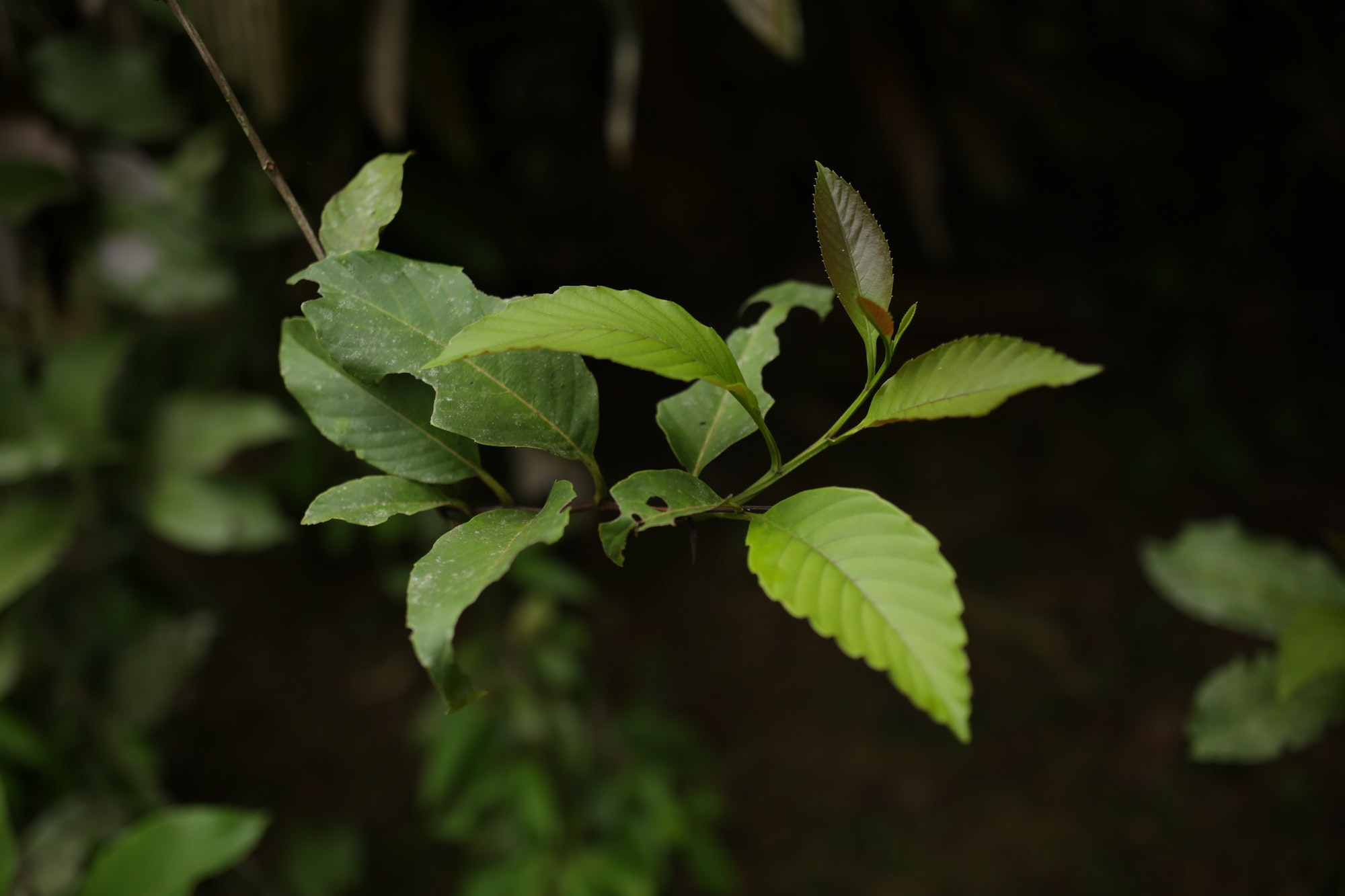 The chacruna leaf is one of the main ingredients in ayahuasca.