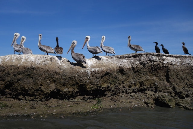 Pelicans and Cormorants at Elkhorn Slough