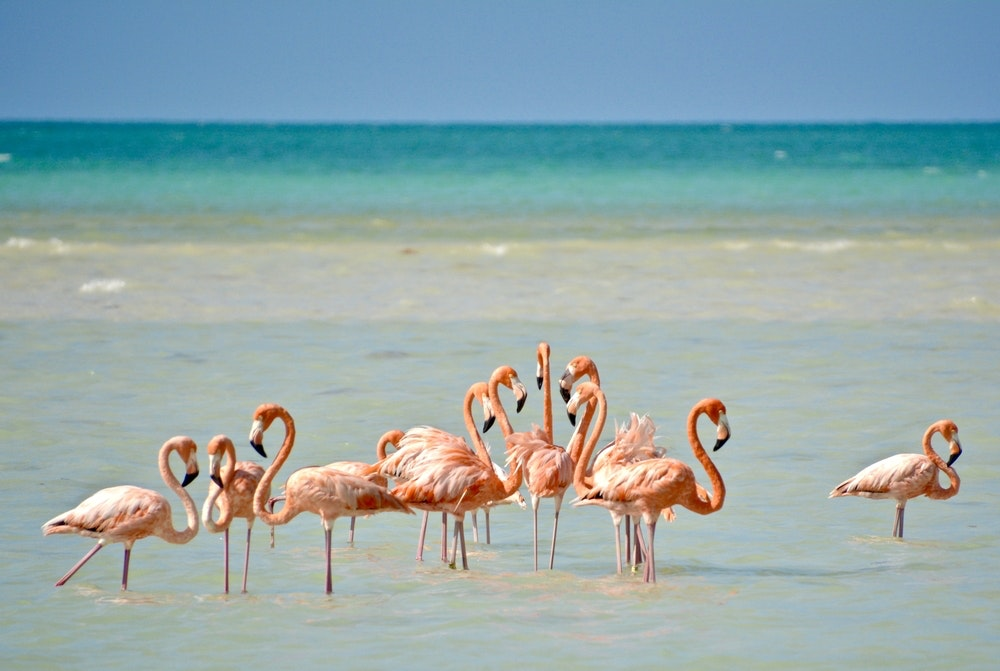 Flamingos hang out in the waters at Isla Holbox.