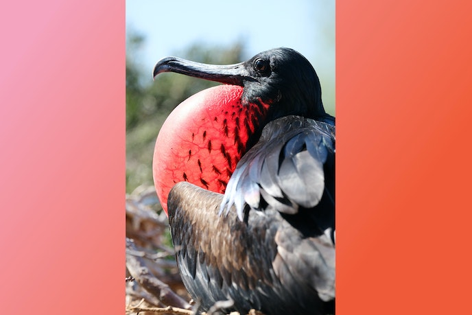 Male frigatebirds display inflated red throat pouches in the spring to attract mates.