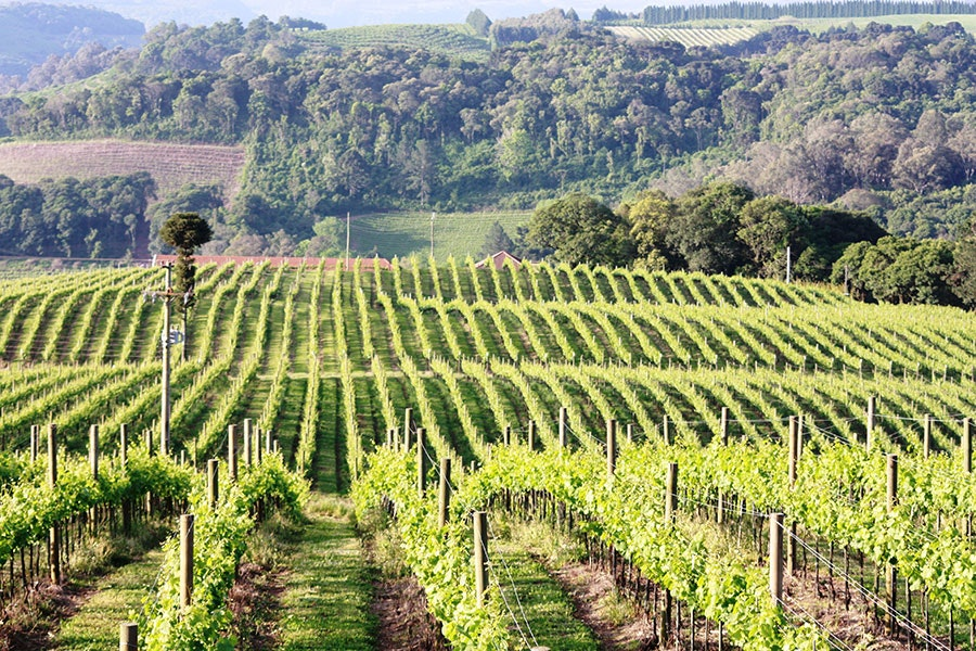 The rolling vineyards at Cave Geisse
