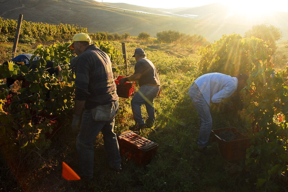 The grapes at Feudo Montoni, which is the highest vineyard site in Sicily for nero d'Avola, are all picked by hand.