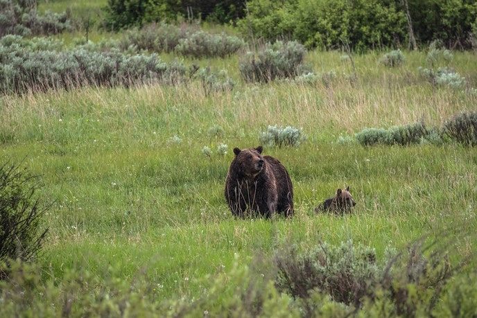 Wildlife photographers head to Grand Teton National Park every morning during grizzly season to spot the famous creatures.