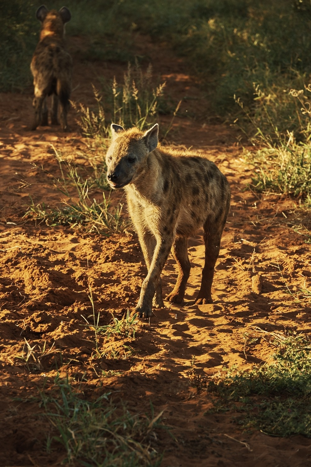 The spotted hyena is the only hyena species that laughs.
