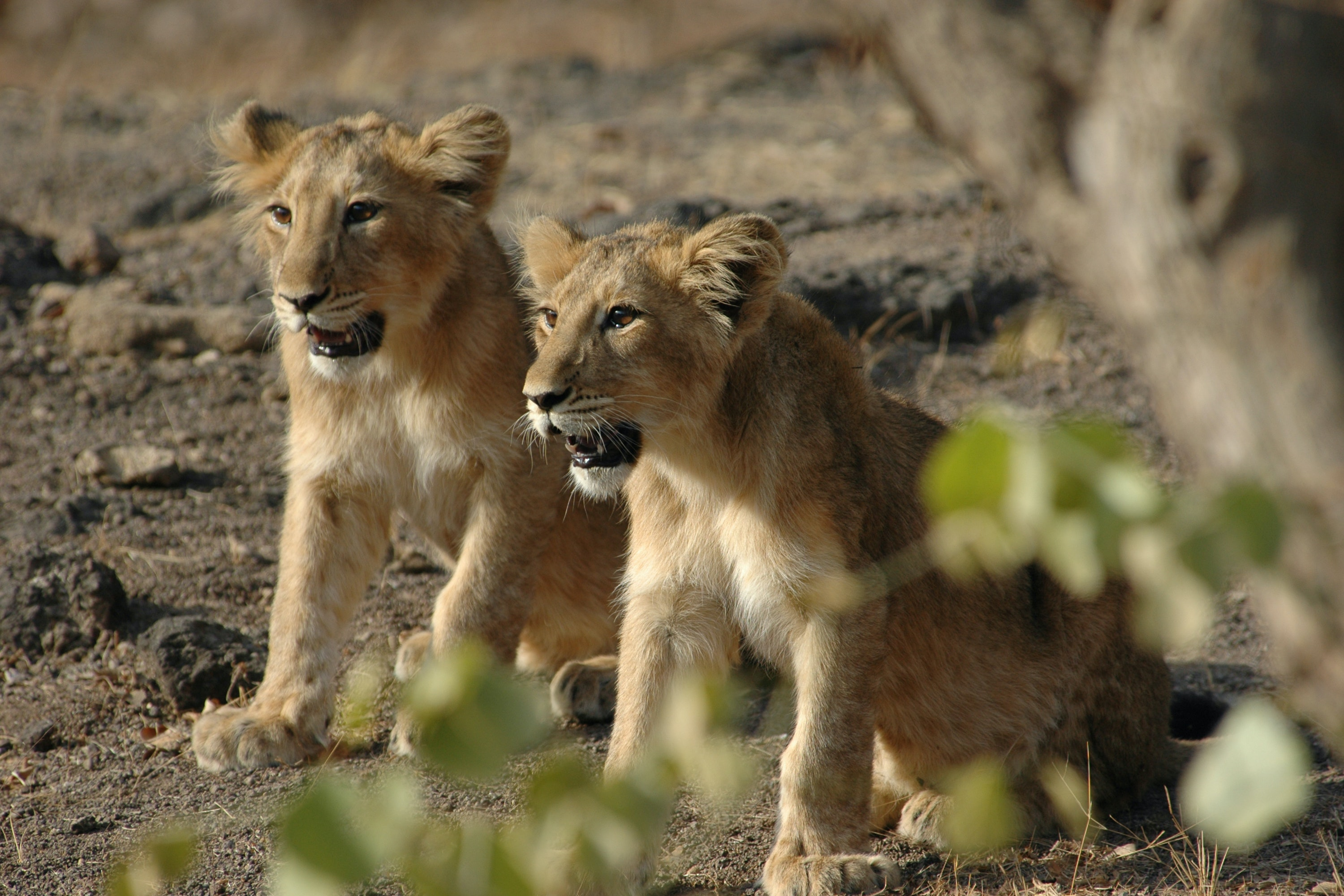 Spot Asiatic lions on NWS RAW's tour of Gujarat.