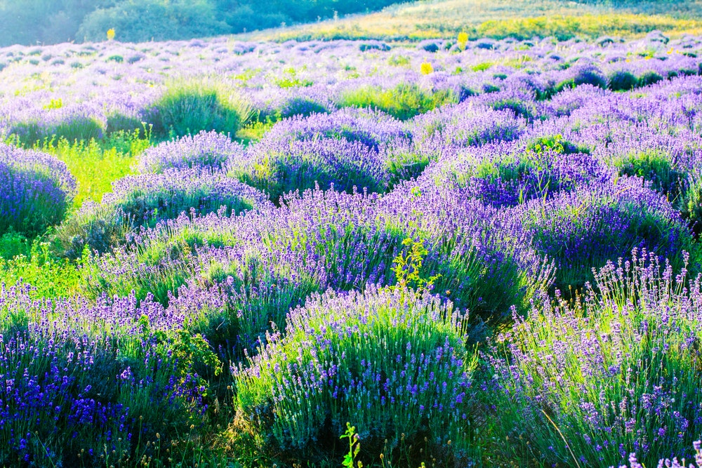 Lavender (seen here in Hungary) grows all over the world and can be used for culinary and aromatic purposes.