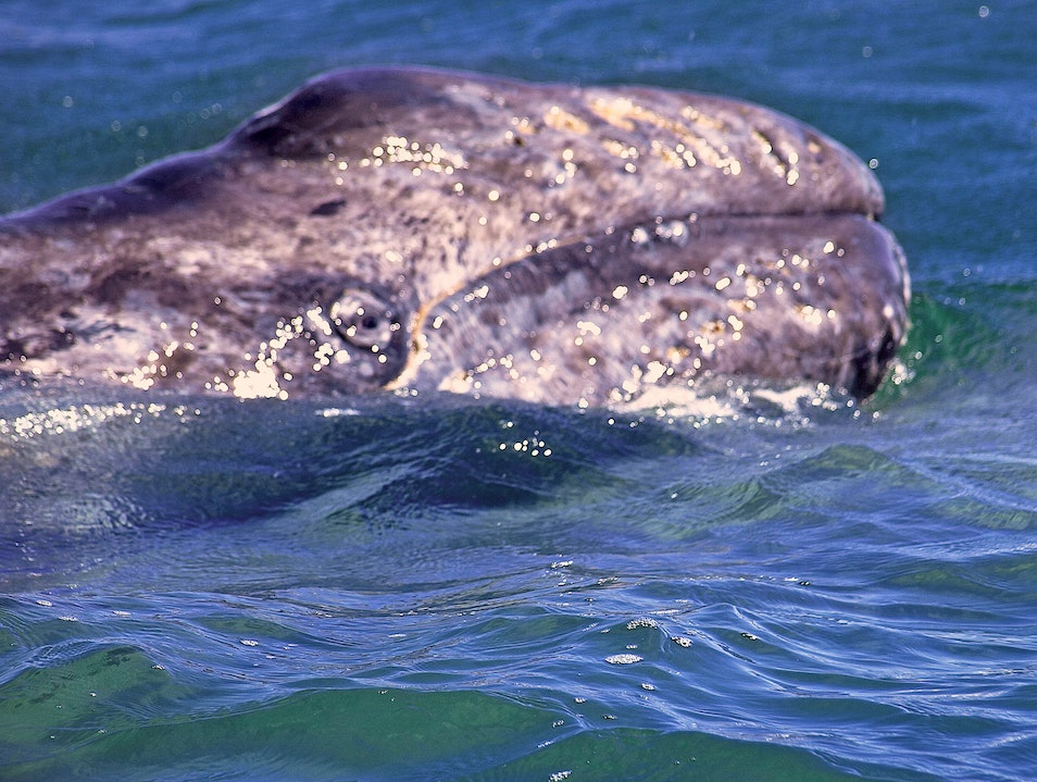 Amongst the Gray Whales Baja California Sur  Mexico