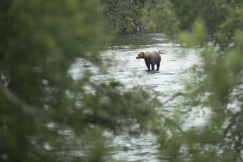 You have a great chance at spotting bears and other Alaskan wildlife on Nat Hab's Ultimate Alaska Wildlife Safari trip.