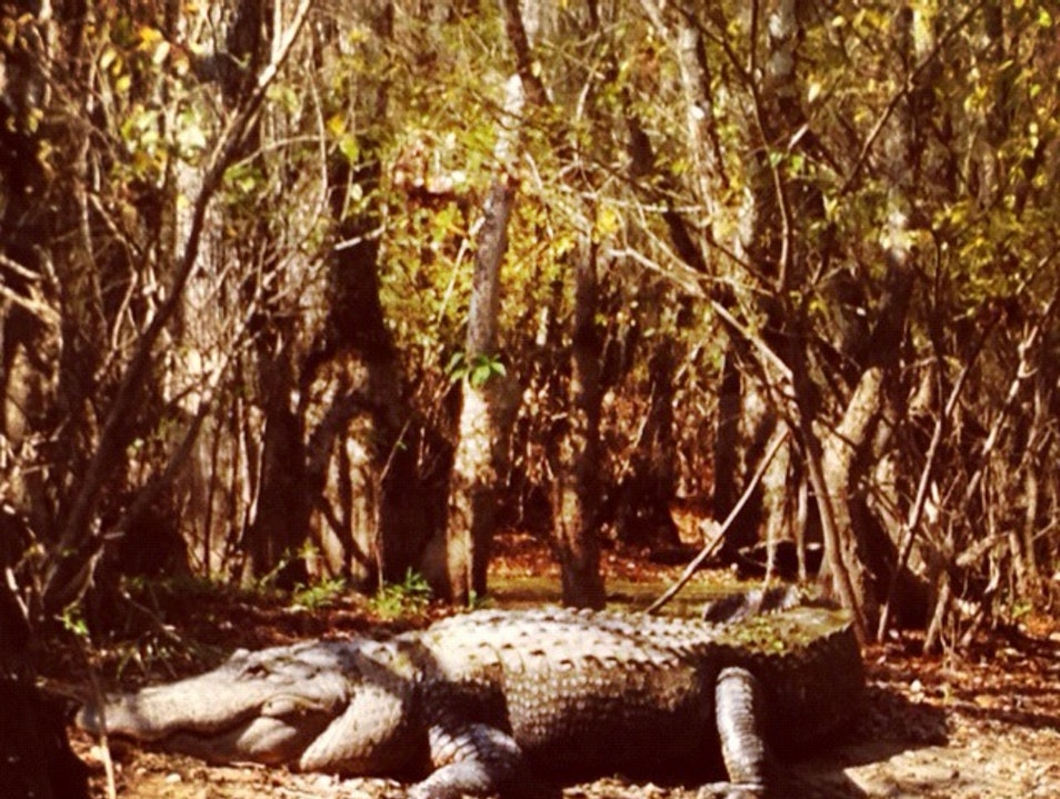 Wanna see a gator? Slidell Louisiana United States