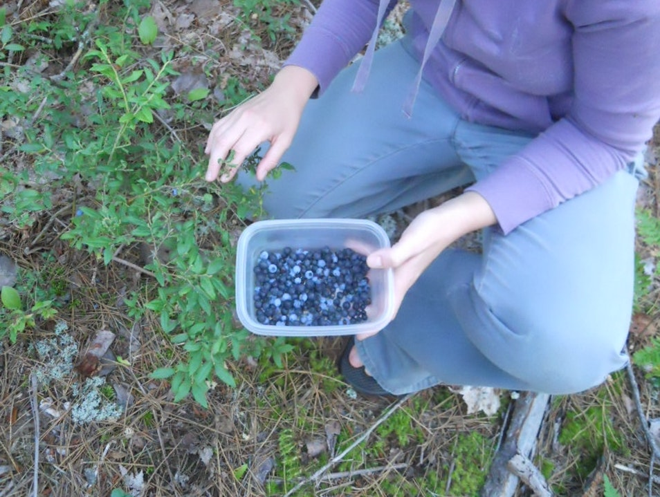 Blueberry hunting in the Upper Peninsula Munising Michigan United States
