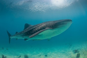 Donsol Bay - Swim with Whale Sharks
