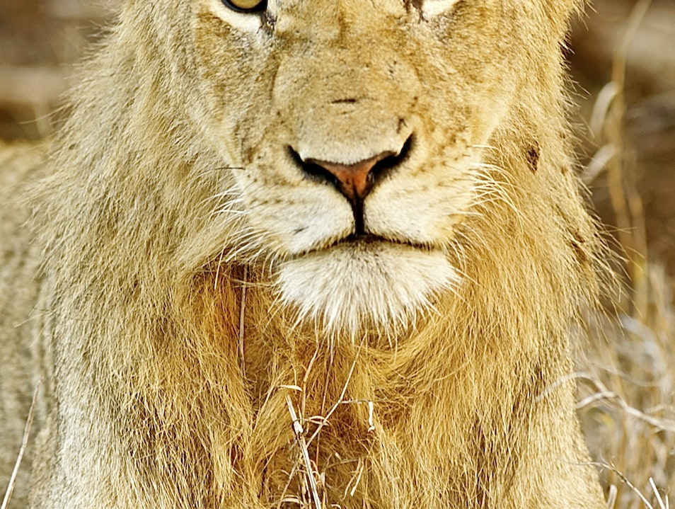 The Face of a Lion Kruger Park  South Africa