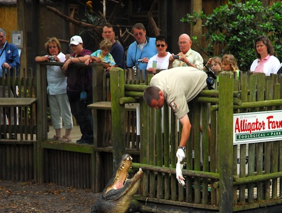 See Gators Up Close and Personal St. Augustine Florida United States