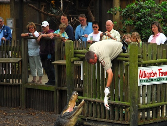 See Gators Up Close and Personal