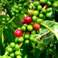 The Kona Coffee and Tea Company, Inc. Kailua-Kona Hawaii United States