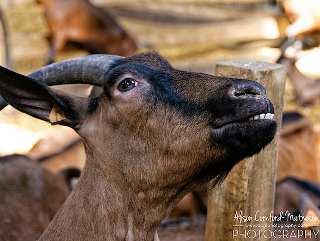 Delicious Cheese and Smiling Goats in Belgium